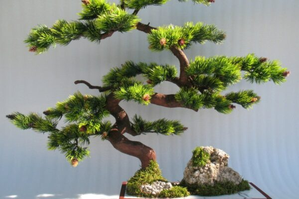 Fukien Tea Bonsai for Indoor Decoration