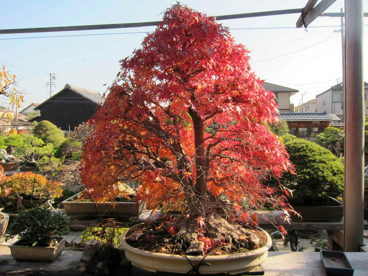 Japanese Maple Bonsai Ideas for Modern House