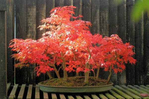 Japanese Maple Bonsai for Japanese Style Home