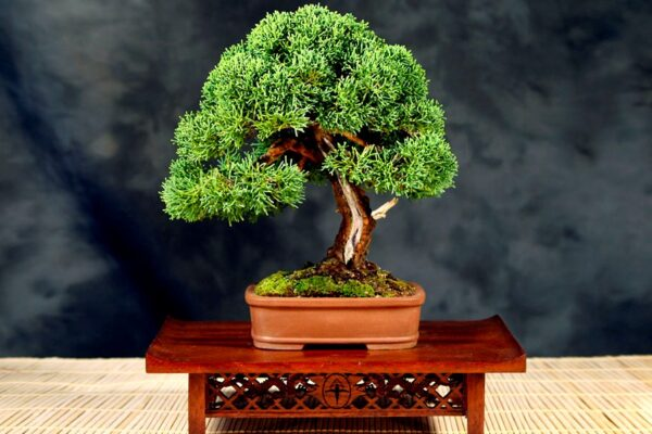 Juniper Bonsai for Being Wonderful Tree