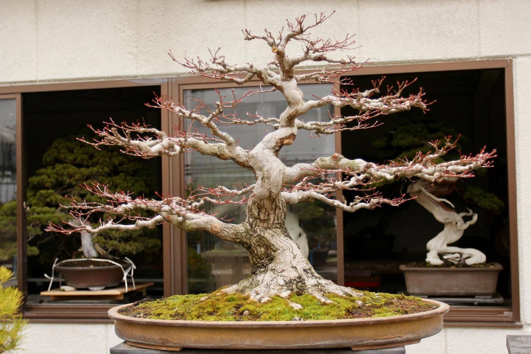 Japanese Maple Bonsai Ideas