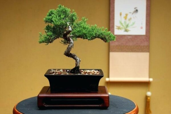 Bonsai Tree for Sale to Beautify Your Home